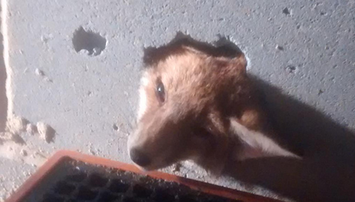 A fox cubs face sticking out of a concrete wall