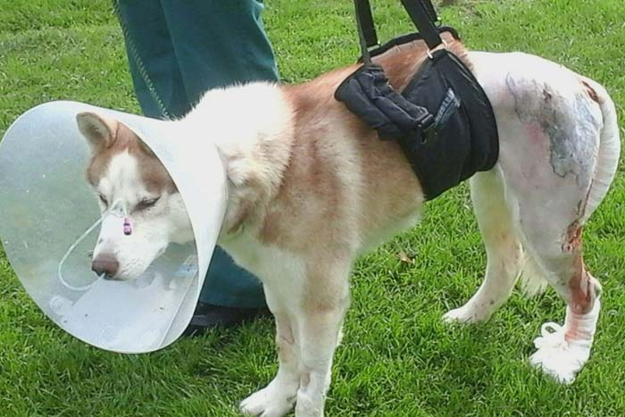 Max the husky outside on the grass with a medical cone on his head, the lower half of his body is shaved dues to his injuries