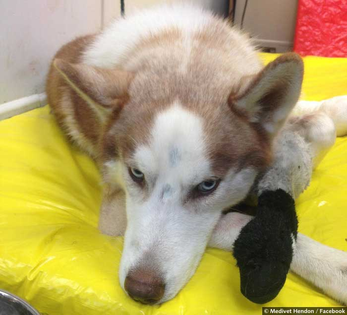 Max the husky lying on a yellow dog bed with his paw bandaged