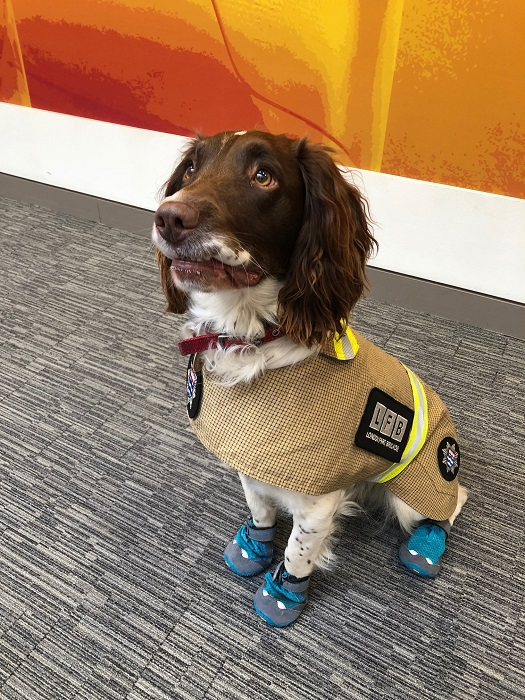 London Fire Brigade fire investigation dog Simba, a two-year-old English Springer Spaniel